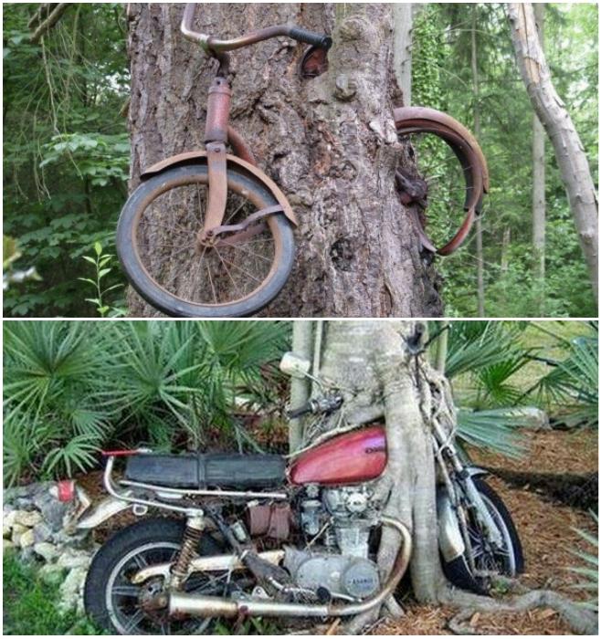 Непозволительную забывчивость растущие деревья не прощают. | Фото: agrodoctor.livejournal.com.