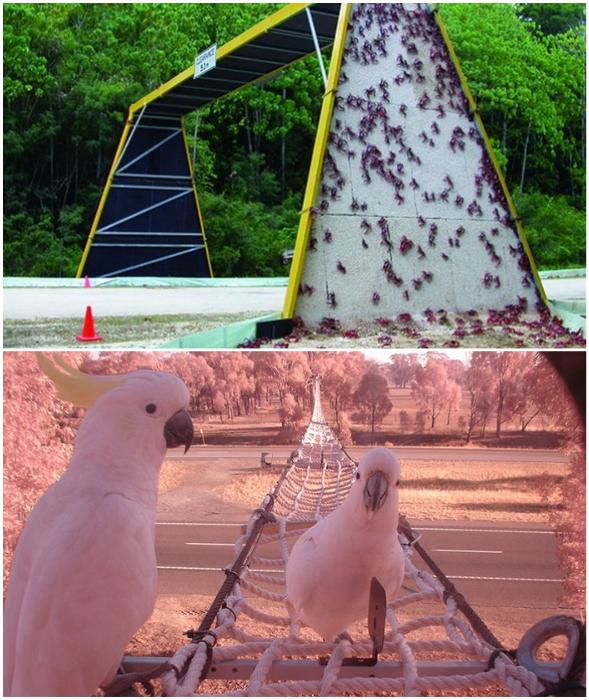 В Австралии побеспокоились и о красных крабах, и о попугаях, создав им мосты и туннели.