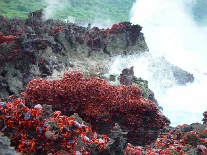 Невероятное паломничество красных земляных крабов на острове Рождества.
