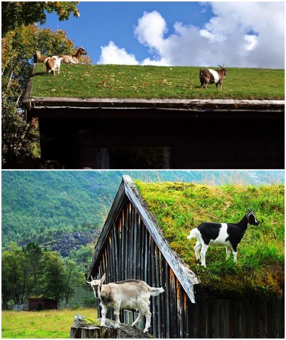 За красотой крыш следили лишь козы.