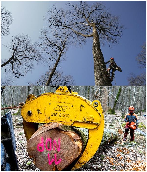 Для восстановления Нотр-Дама вырубают самые крупные дубы не только во Франции, некоторые страны подключились к этому процессу.