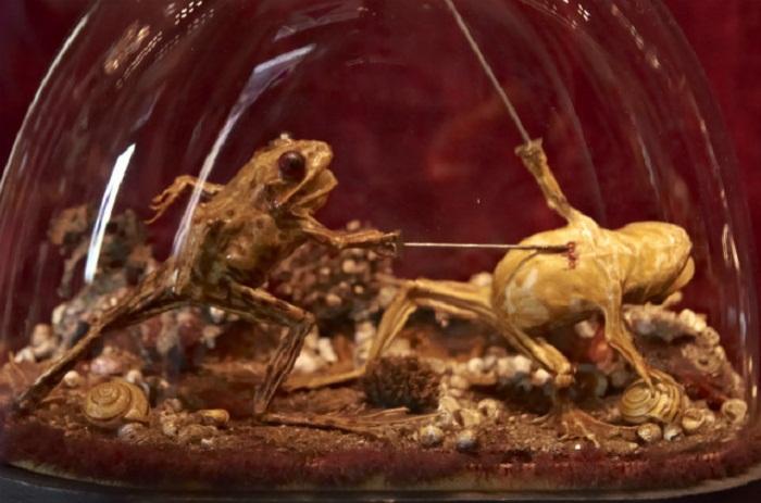 Лягушки сражающиеся на дуэли – самый интересный экспонат кабинета курьезов.