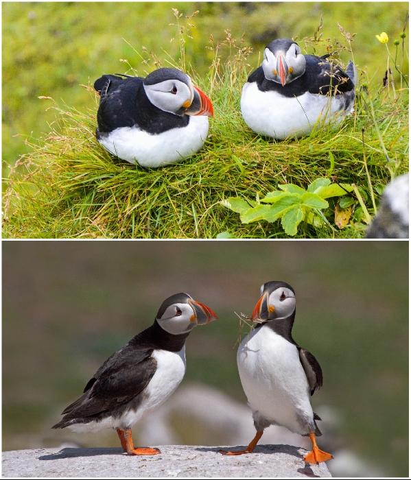 Тупики в марте-апреле всегда возвращаются на остров и роют глубокие норы, чтобы свить гнездо. | Фото: myplanet-ua.com.