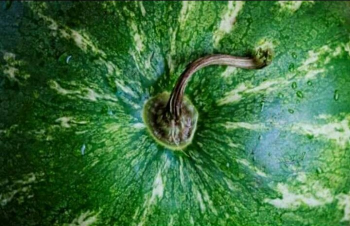Такой хвостик с «пуговкой» будут у спелого и вкусного арбуза. | Фото: campakkamus.blogspot.com.