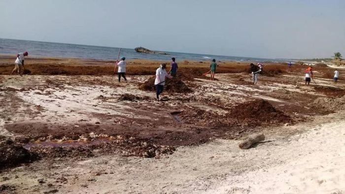 Более 5 лет пляжи Кинтана-Роо заполняются выброшенными из Атлантического океана саргассовыми водорослями (Мексика). | Фото: build-green.fr.