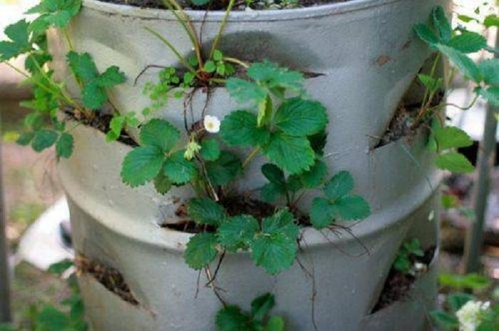 Необычный способ выращивания клубники.