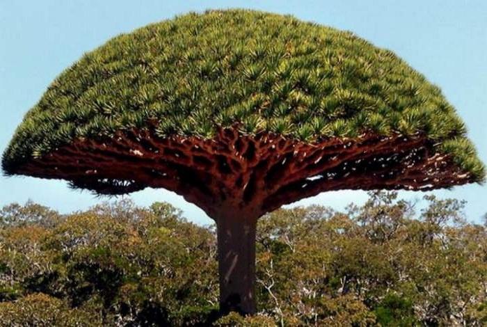 Дерево дракона на острове Сокотра.