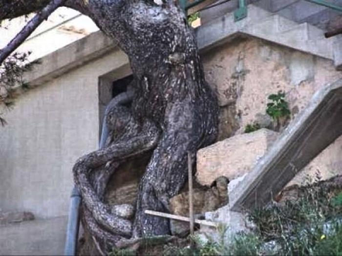 Дерево активно врастает в дом и в Кисловодске. | Фото: sevkavportal.ru.