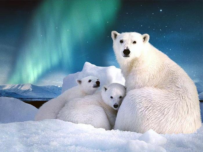 На архипелаге Шпицберген находится более тысячи особей белых медведей.