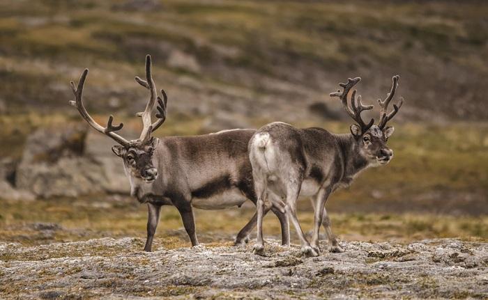 На архипелаге Шпицберген очень много северных оленей.