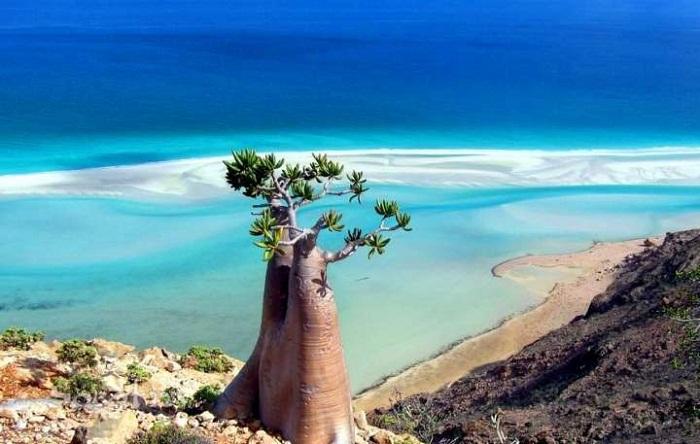Внеземное дерево острова Сокотра.