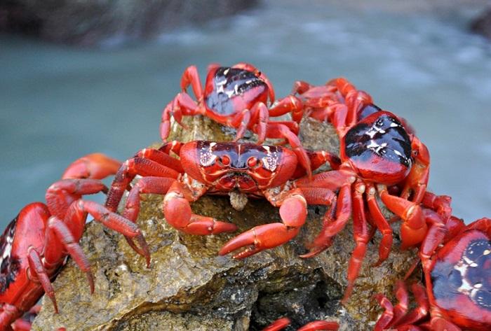 Красные земляные крабы — главная достопримечательность острова Рождества.