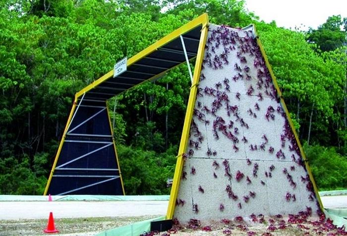 Жители острова создали все необходимые условия для безопасного передвижения крабов.