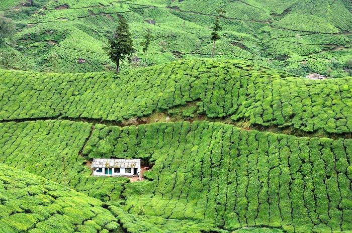 Оригинальный отель гармонично вписался в ландшафт чайной плантации (Муннар, Индия).