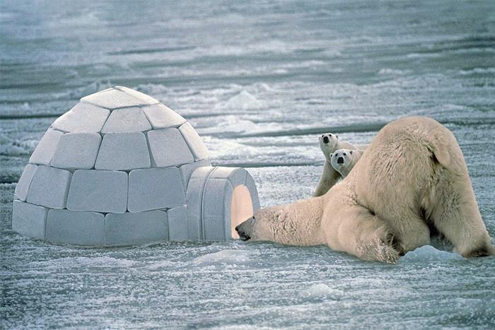 Защитой от поползновений белых медведей служит всего лишь кусок льда. | Фото: gazeta.ru.