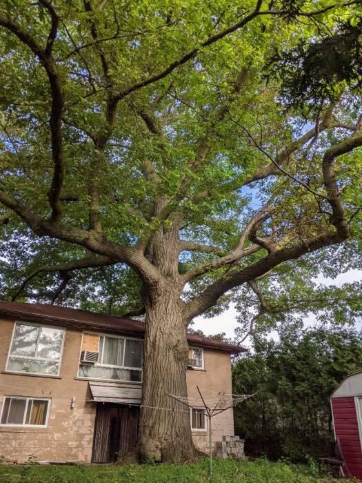 «Ни одно другое дерево в Канаде не имеет такой ценности, как это дерево» (Торонто). | Фото: today.line.me.