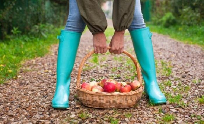 Зимние сорта яблок - невероятно вкусны.  / Фото: ogorod.ru