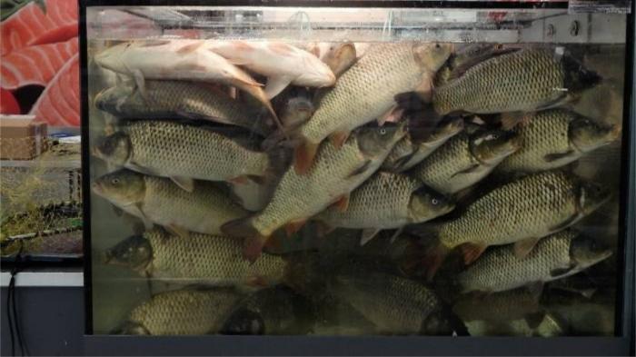 Живая рыба в садке без подачи воздуха заглатывает воды в количествах, равных ее весу. / Фото: vkurier.by