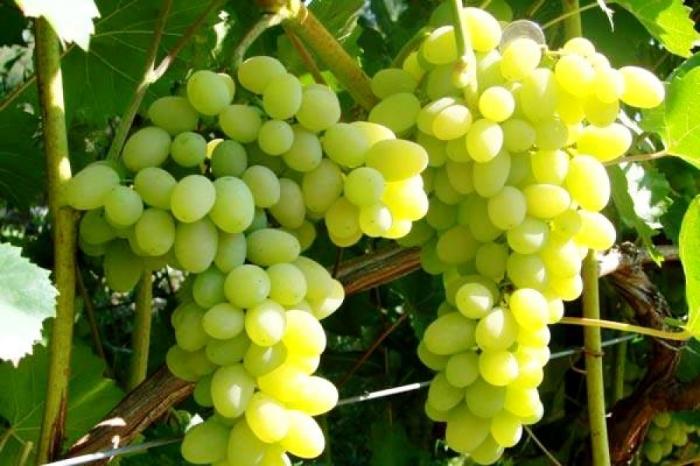 Злоупотребление виноградом ведет к диабету. / Фото: zlatpitomnik.ru