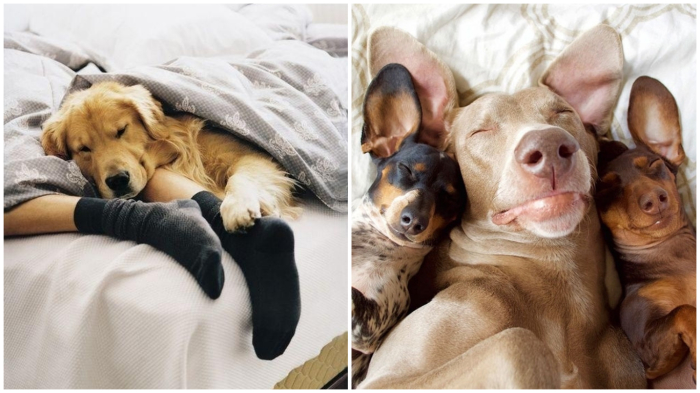 Что может быть лучше пса-«грелки»? Только три пса!