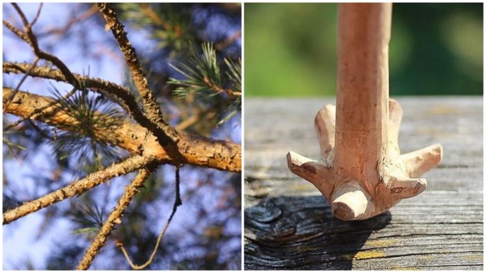 Мутовки – худший враг деревьев?..
