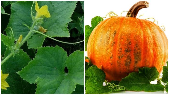 Листья тыквы, кабачка, огурца – эффективный «ёршик» для посуды.