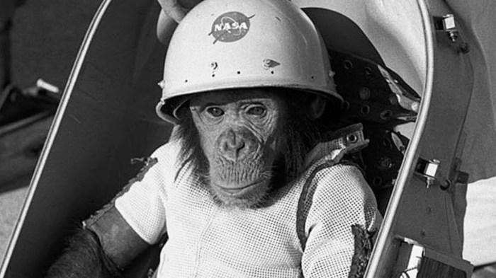Первый примат-космонавт - шимпанзе Хэм