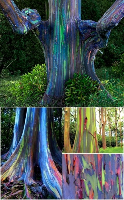 Самые яркие деревья на планете. /Фото: pikabu.ru