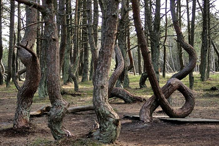Деревья, пустившиеся в пляс. /Фото: pikabu.ru