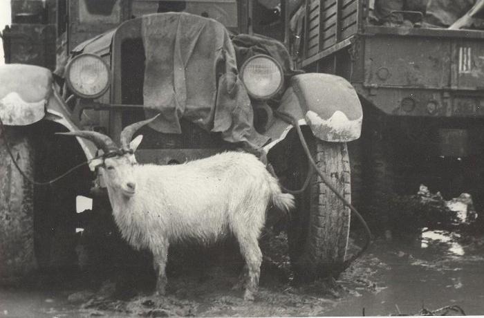 Коза полезна на войне - и молоком обеспечит, и немцев поймать поможет. /Фото: novorab.ru