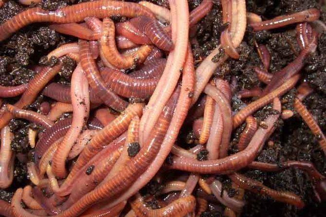 Дождевые черви в буквальном смысле. /Фото: chrontime.com