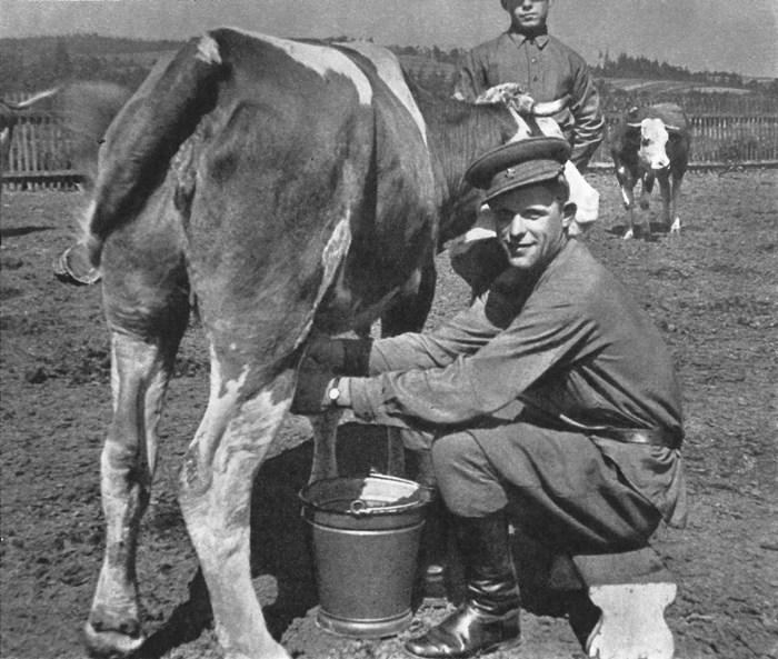 Коровы были настоящим спасением для раненых солдат. /Фото: waralbum.ru