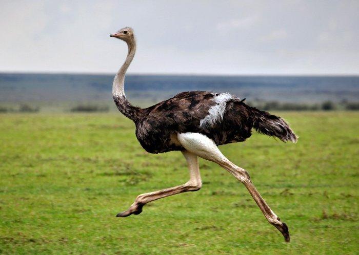 Если страус пугается - он бежит. /Фото: rus-zona.net
