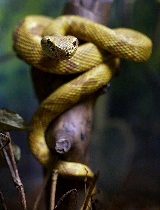 Золотое копье входит в топ самых ядовитых рептилий в мире. /Фото: pressa.tv
