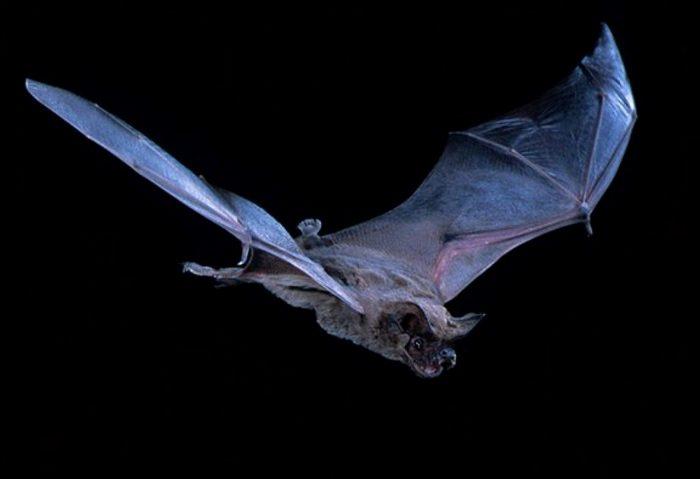 Бразильский складчатогуб считается самым быстрым животным - летает быстрее любой птицы.  /Фото: fshoke.com