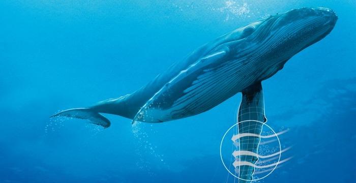 Плавник такой необычной формы у кита не просто так. /Фото: jw.org