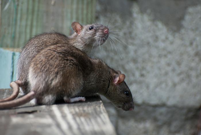 Оказывается, дело было не только в крысах. /Фото: nauka.tass.ru