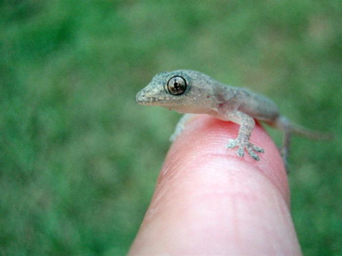 Ящерица с необычными способностями. /Фото: my-brain.ru
