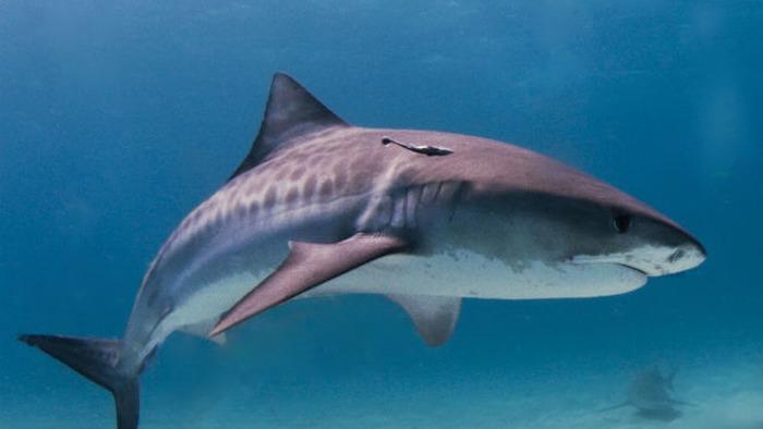 Акулы благодаря своей коже плавают быстрее. /Фото: nauka.vesti.ru