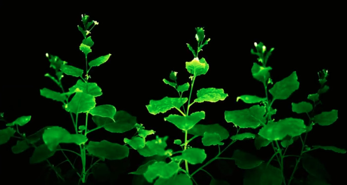 Пока что лучшей основой для светильника из растения считаются листья табака. /Фото: hi-tech.mail.ru