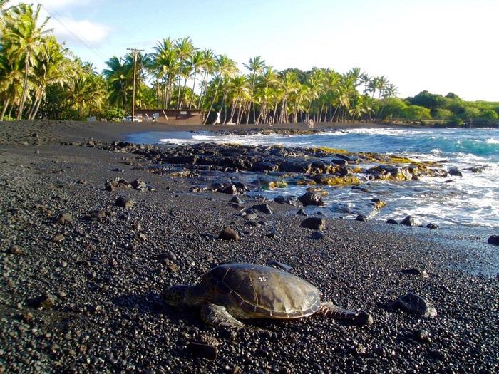 Зелёные черепахи - полноценные хозяева черных песков. /Фото: lovebigisland.com