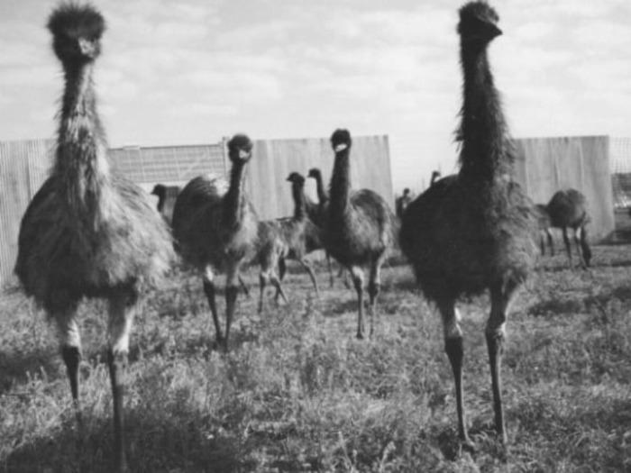 Птицы, которые победили армию Австралии. /Фото: istorium.net