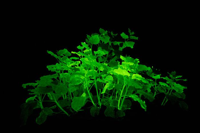 При правильной обработке растения часами могут излучать свет. /Фото: geneticliteracyproject.org