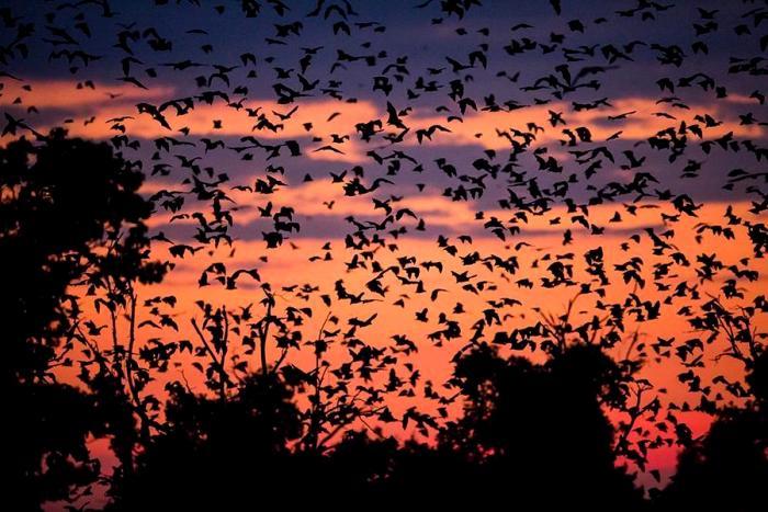 Миграция летучих мышей - действительно впечатляющий процесс. /Фото: bigpicture.ru
