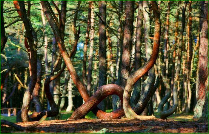 Аномальный лес Куршской косы. /Фото: tourprom.ru