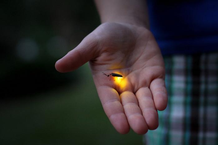 Светлячки улучшают светодиоды. /Фото: ecology.md