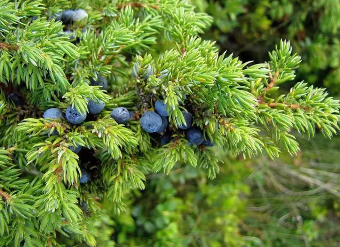 К растениям, которые любят кислую почву, также относятся ягоды, обязанные своим происхождением лесным сородичам (голубика, черника, брусника, клюква), хвойные растения, можжевельник / Фото: travaks.com