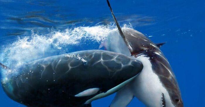 Даже огромные белые акулы стараются без необходимости с косатками не пересекаться / Фото: pikabu.ru