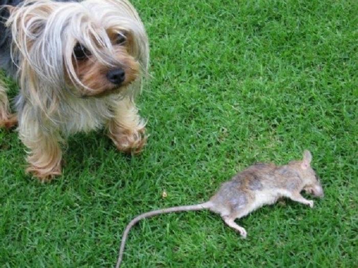 На помощь приходят карманные песики, которые не бояться агрессивных грызунов и их размеры в данном случае – это преимущество / Фото: aminoapps.com
