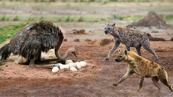 Атаку птица способна отразить даже тогда, когда гиены нападают на нее с двух сторон / Фото: YouTube